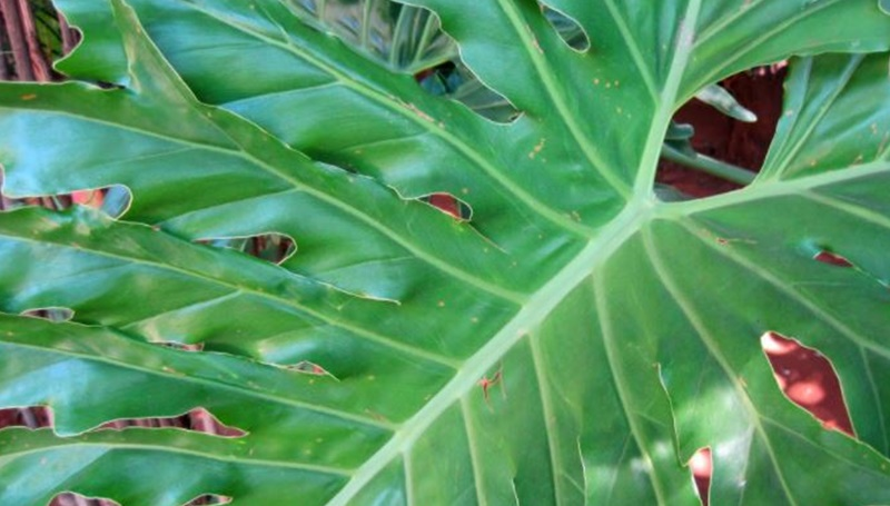 South Africa potentially dangerous plant Delicious Monster