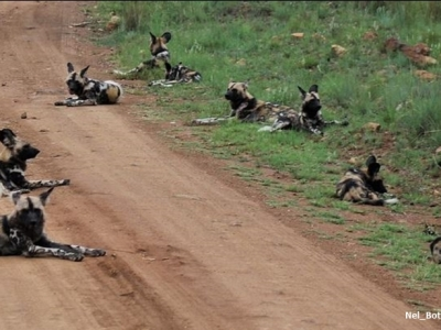 Painted Dog Conservation Org Partners With Political Animal Lobby